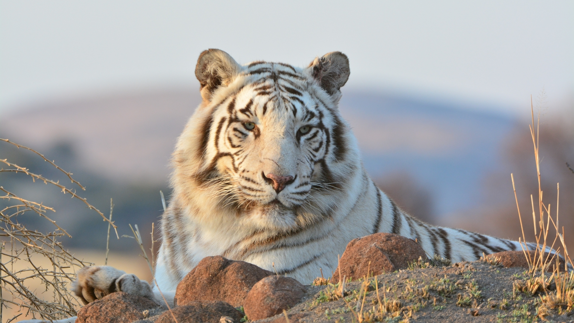 images of white tigers