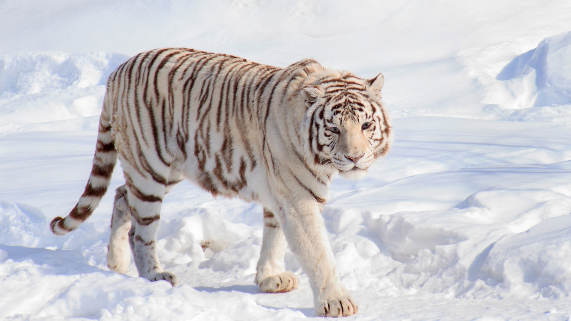 white tigers backgrounds