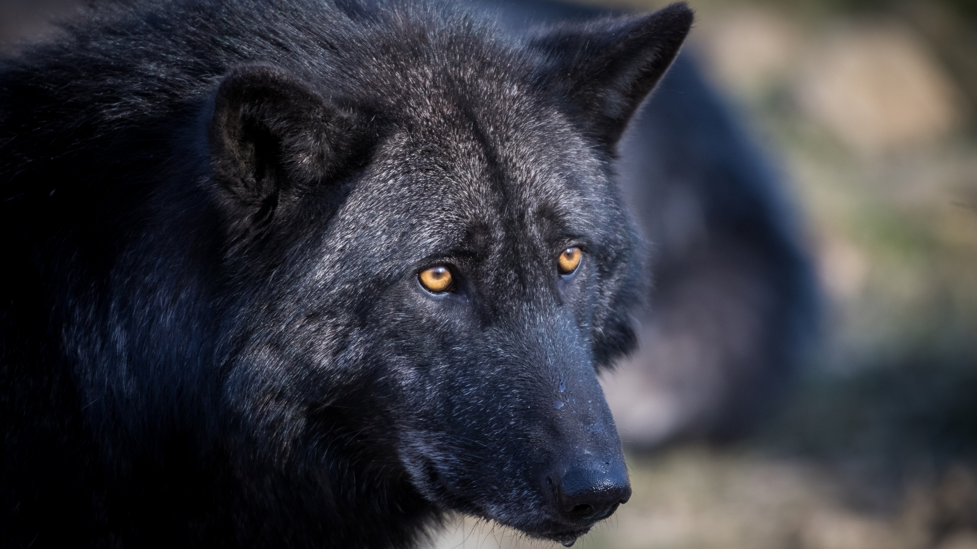 Pictures of black wolves