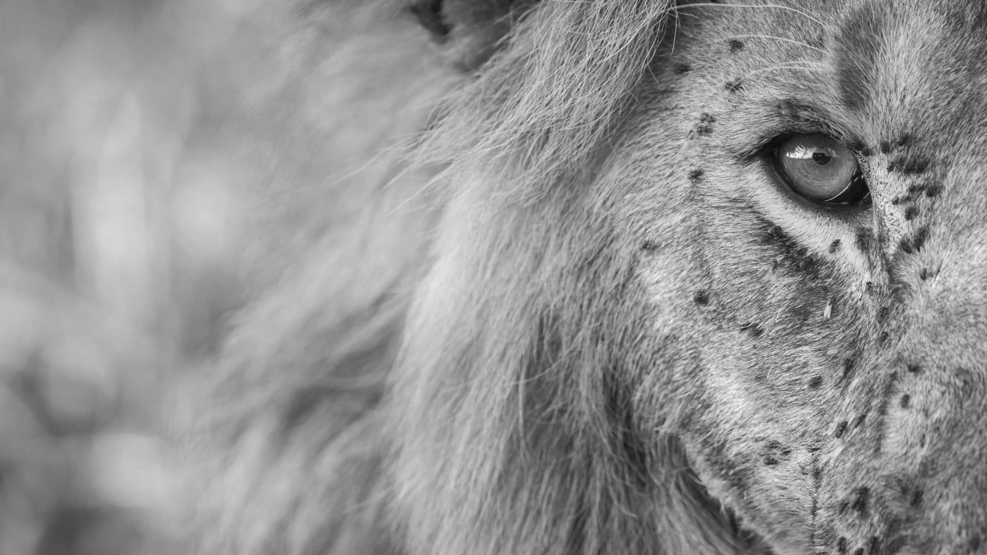High definition lion wallpapers
