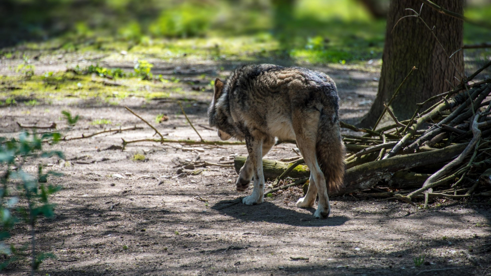 Wolf pictures to download
