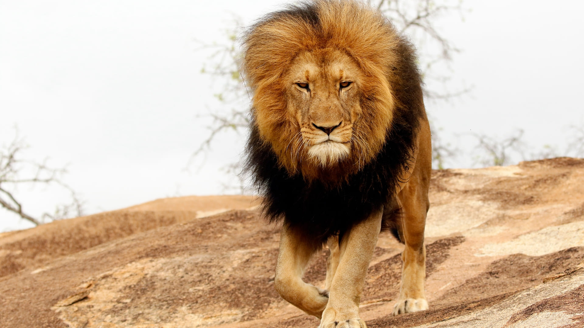 wallpapers lions